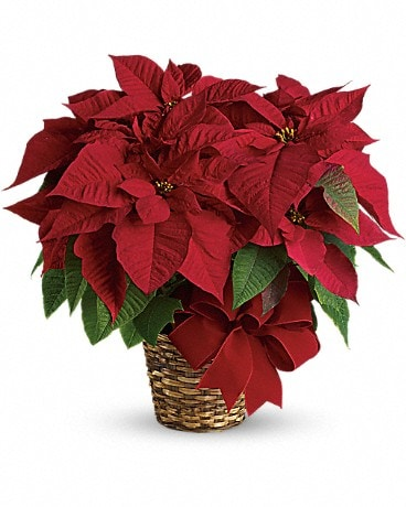 Poinsettias rouges