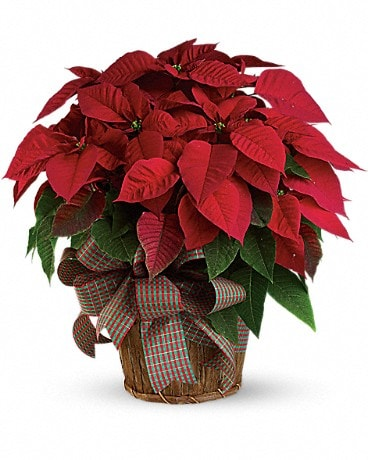 Bouquet de grands poinsettias rouges